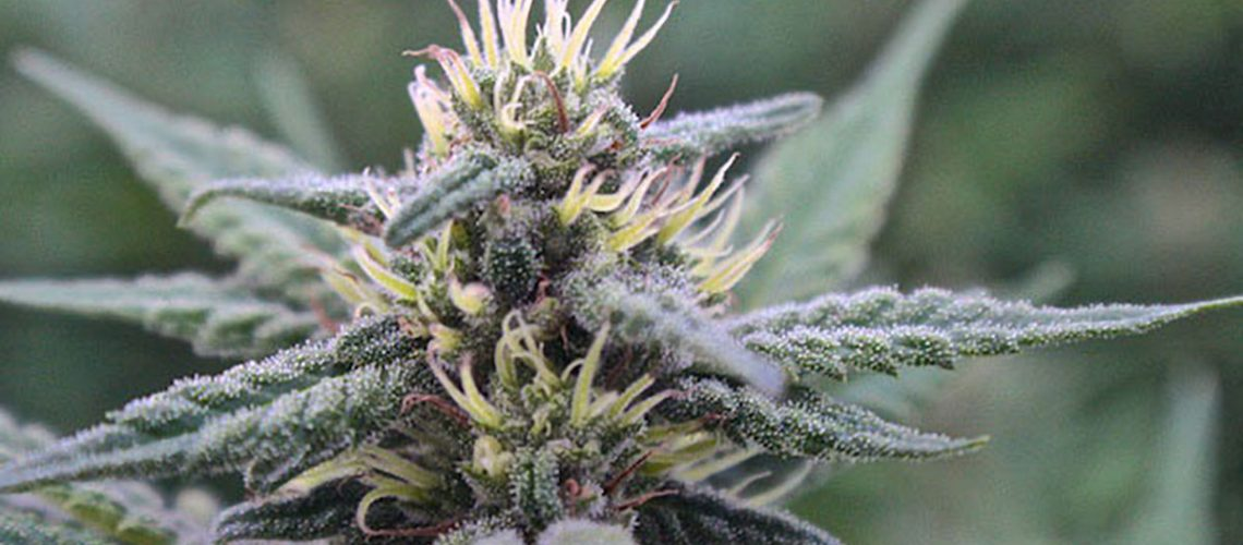Top Image: Cannabis sativa 'Shaman's Dance' - mid-season light deprivation run